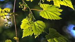 Wild Grape Vines (Steve InMichigan) Tags: vemar135mmf28lens fotodioxm42eflensadapter wildgrapevines bokeh