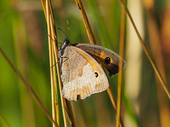 Großes Ochsenauge / Meadow brown (A.Dragonheart) Tags: grosesochsenauge insekt maniolajurtina meadowbrown papilionoidea schmetterling tagfalter tier animal butterfly insect natur nature outdoor gras brown braun orange