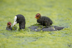 Fulica atra, folaga, Eurasian coot, Foulque macroule (Xrupex) Tags: fulicaatra folaga eurasiancoot foulquemacroule beautyinnature wildbirds oiseausauvage oiseaux natureimages wilderness