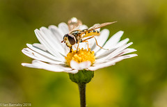 Crop of a Bug (Ian Barnaby) Tags: bug hornet bee wasp insects nature flowers daisy closeup crop bokeh green yellow white wildlife plants pollen