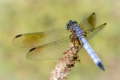 Blue Dasher (tresed47) Tags: 2018 201807jul 20180708springtoninsects bluedasher canon7dmkii chestercounty content dragonflies folder insects july pennsylvania peterscamera petersphotos places season springtonmanor summer takenby us