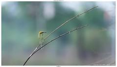 Green Bee-eater (पतरिंगा) / Merops orientalis (jhureley1977) Tags: greenbeeeater पतरिंगा meropsorientalis birds birding birdsofindia birdsindia jabalpur jabalpurbirds ashjhureley avibase naturesvoice bbcspringwatch rspbbirders orientbirdclub ashutoshjhureley rspb