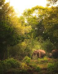 Jungle (dkphotographs) Tags: jungle srilanka nature animal elephants elephant sun tree animalportrait asia babyelephant asianelephant india landscape sonyalpha6000 wildlife safari