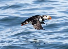 atlantic puffin (hawk person) Tags: fraterculaarctica puffin pelagic