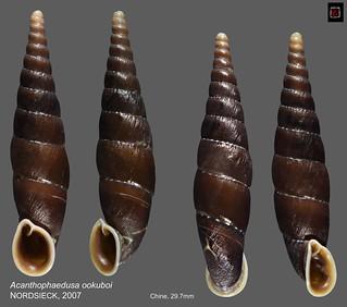acanthophaedusa ookuboi chine 29mm7