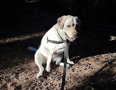 Gracie in golden light (walneylad) Tags: gracie dog canine pet puppy cute lab labrador labradorretriever july summer evening eastviewpark