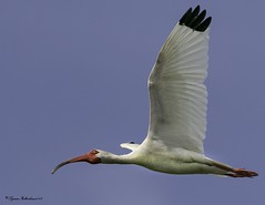 2I1A8990a (lfalterbauer) Tags: whiteibis rookery oceancity canon 7dmarkii photography flight rarity dslr ornithology avian bay ocean wetlands ornitholgoy