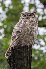 Great Horned Owl (Lyall Bouchard) Tags: alberta bird calgary greathornedowl inglewoodbirdsanctuary