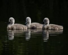 Swan Lake - Pas de trois (MrBlueSky*) Tags: cygnet swan bird nature wildlife outdoor kewgardens royalbotanicgardens london pentax pentaxart pentaxlife pentaxawards pentaxk1 pentaxflickraward pentaxk1mkii aficionados water