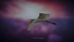 The great egret (Anup Devaraj Clicks) Tags: thegreategret nikond3200 nikon egret birds birdsphotography birdsinflight nikkor naturephotography nature