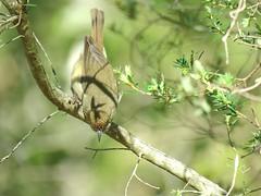 Acanthiza pusilla 9 (barryaceae) Tags: myalllakesnationalpark nsw australia ausbird ausbirds seal rocks neranie point campground myall lakes national park brown thornbill acanthiza pusilla