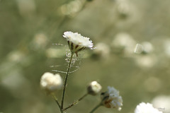 Sometimes, Past keep chained... (FLOCVROFF) Tags: chivaroff 250mm proxi droplets nature white gypsophile bokehnature