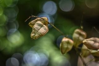 Csörgőfa (Koelreuteria paniculata)