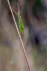 2018-07-15--Lorry Mardigny0007.jpg (heijoelle) Tags: france sauterelle lorrymardigny grasshopper macro insecte moselle europe animaux lorraine macrophotographie