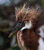 Heron (AirTindall) Tags: heron green cay nature wildlife florida chick