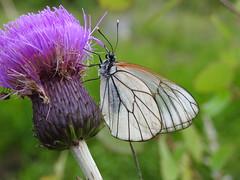 Black-veined White (Aporia crataegi) (eerokiuru) Tags: blackveinedwhite aporiacrataegi põualiblikas butterfly p900 nikoncoolpixp900