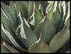 Agave #19 2017; Tucson Botanical Gardens (hamsiksa) Tags: plants flora vegetation xerophytes succulents desertplants arizonaflora agaves agavaceae agavespp radial rosette arizona southernarizona bajaarizona tucson gardens botanicalgardens botany botanicalphotography abstract geometric