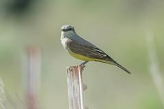 Western Kingbird (Tyrannus verticalis) (byjcb) Tags: flycatcher birds wadsworth nevada unitedstates us