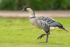 Strutting Goose (Rick Derevan) Tags: nene goose hawaiiangoose kauai kilauea kilaueapoint bird hawaii