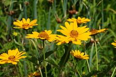 Heliopsis helianthoides 'Summer Sun' (Jim Atkins Sr) Tags: heliopsis roughoxeye heliopsishelianthoides smoothoxeye falsesunflower closeup garden tryonpalace northcarolina newbern sonya58 sony sonyphotographing