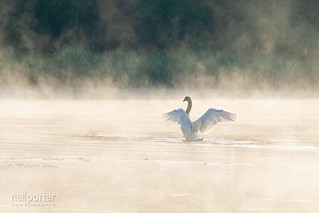 Muted swan on a misty morning