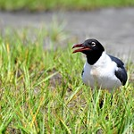 Laughing Gull in Maryland thumbnail