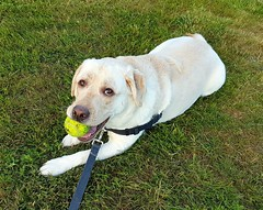 Gracie with a new ball (walneylad) Tags: gracie dog canine pet puppy lab labrador labradorretriever cute june spring evening westlynn sunset ball
