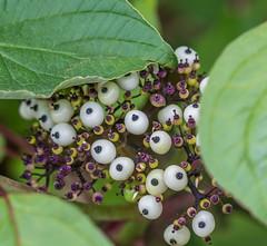 Round Eye's. (Omygodtom) Tags: flora fleur dof berry gold leica tamron macro silhouette d7100 digital round usgs natural