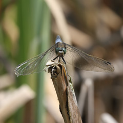 Orthetrum Cancellatum (Visual Stripes) Tags: dragonfly odonata insect invertebrate pov canoneos7d sigma150mm sigma14teleconverter handheld