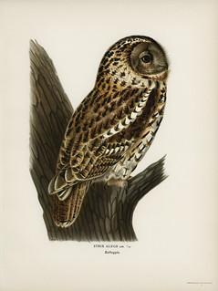Strix aluco (Tawny owl) illustrated by the von Wright brothers. Digitally enhanced from our own 1929 folio version of Svenska Fåglar Efter Naturen Och Pa Sten Ritade.