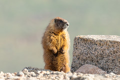 Yellow-bellied Marmot stands tall