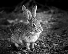 024693763454-101-Rabbit in the Mojave Desert-7-Black and White (Jim There's things half in shadow and in light) Tags: 2018 america canon5dmarkiv hendersonbirdviewingpreserve march nevada southwest tamronsp150600mmf563divcusdg2 usa animals nature wildlife rabbit bunny blackandwhite