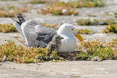 Western Gull Family (Becky Matsubara) Tags: alcatrazisland avian bird birds california charadriiformes gaviotaoccidental goélanddaudubon gull laridae larusoccidentalis nationalpark nature outdoors wegu westerngull wildlife