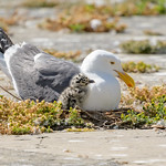 Western Gull Family thumbnail