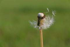 The last seeds (Ce Rey) Tags: dandelion nature weed weeds minimalism naturaleza semillas challengegamewinner challengeyouwinner espacionegativo