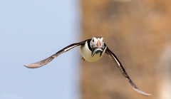 Puffin seconds away from being mugged (Steve (Hooky) Waddingham) Tags: bird british sea summer coast nature northumberland fish flight photography puffin wild wildlife