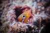 Bluestriped Fangblenny in Bali (Gomen S) Tags: bali indonesia 2018 afternoon asia tropical summer underwater ocean sony sonyflickraward rx100v macro wildlife nature animal fish