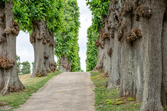 6M7A2235 (hallbæck) Tags: allé avenue frederiksborgslotshave hillerød viale avenida trees arboles alberi träd thecastlegarden denmark nordsjælland juni2018