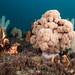 Dendronephthya australis soft coral #marineexplorer