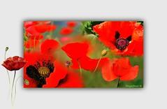 TIEMPO DE AMAPOLAS (Angelines3) Tags: amapolas flores arreglofotográfico collage juevesdeflores rojo