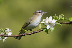 Red-Eyed Vireo (Jesse_in_CT) Tags: redeyedvireo vireo nikon200500mm nikon