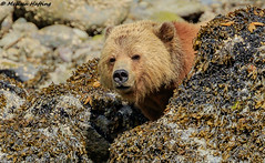 Grizzly Boar (Ursus arctos horribilis) - Glendale Cove, BC (bcbirdergirl) Tags: grizzlybear ursusarctoshorribilis male boar adult knightinlet bc bear bears grizzlies brownbear grizzly glendalecove beautifulbritishcolumbia