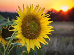 Sunflower at sunset (TM Photography Vision) Tags: dordogne france frankreich basel riehen schweiz olympus st meard de gurcon lac sunset sun sunflower flower sonnenblumen blume pflanze