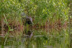 On The Nest (Larry E. Anderson) Tags: bearheadlake bearheadlakestatepark commonloon gaviaimmer landof10000lakes minnesota bird lake seasons spring water