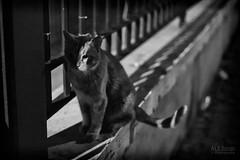 I spy (ale_brando) Tags: cat night nightlife nightphotography animal eye shade shadows darkeness blackwhite blackandwhite monochrome mono dof 50mm nikonfx fx silverefexpro niksoftware d700