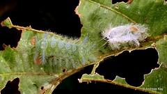 Freshly molted Stinging Nettle Slug Caterpillar, Limacodidae (Ecuador Megadiverso) Tags: andreaskay ant caterpillar crematogastersp cupmoth ecuador formicidae hymenoptera limacodidae saintvalentine stingingnettleslugcaterpillar