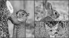 COLORADO CRITTERS (Kerstin Winters Photography) Tags: nature natur unitedstates hase reh eichhörnchen squirrel rabbit deer animal outdoor nikondigital nikondsl sigma colorado flickr flickrnature macro nahaufnahme naturephotography naturfotografie schwarzweis whiteandblack white blackandwhite critters collage