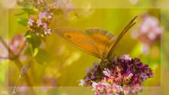 En plein butinage !! (thierrymazel) Tags: insectes papillons butterfly flowers blossoms printemps spring pdc dof bokeh profondeurdechamp