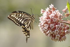 (Mijn natuurfoto's) Tags: vlinder butterfly macro macrofotografie macrophotography 100mm deirdre deirdremoments juni summer
