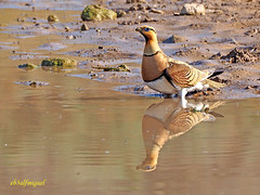 Ganga ibérica (Pterocles alchata)  (86) (eb3alfmiguel) Tags: aves pájaros pteroclidiformes pteroclidae ganga ibérica pterocles alchata animal